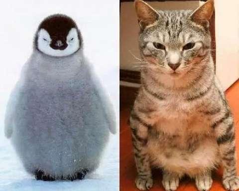网友们纷纷大量转载收藏,图片上猫咪模仿企鹅的动作超可爱又好笑,网