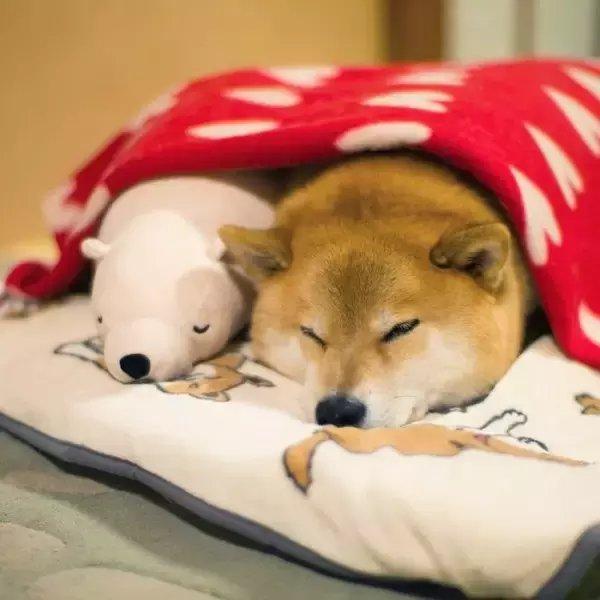 神同步, 这只日本网红柴犬和它的宠物火爆了