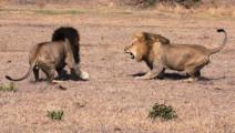 雄狮挑战狮王想当老大,三十个回合下来,发现根本不是对手