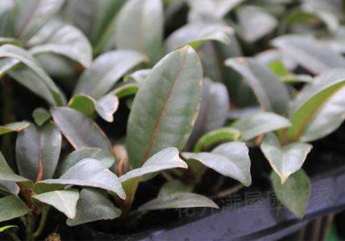 红关公,橡皮树树形丰茂而端庄.观赏价值较高,是著名的小盆栽观叶植物.