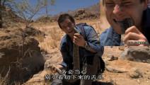 贝爷抓到非洲最危险的膨蝰蛇,这蛇贝爷说可以生吃,倍儿爽!