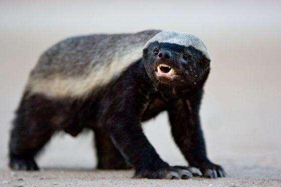 世界上最记仇的四种动物, 平头哥只能排在倒数第一