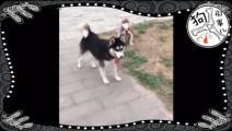 只有一种狗可以控制在外浪的哈士奇,没想到是它