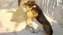 比特犬被狼狗德牧 狂虐,另一只狗强势围观