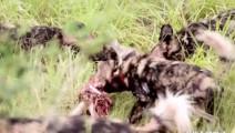 围观: 凶残无耻鬣狗活吃500斤角马全过程,看的背后发凉