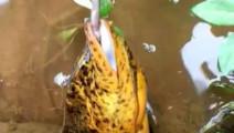 钓鱼: 近距离拍摄,一条大黄鳝,如何被引诱上钩