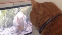 猫咪在电脑前看兔子,以为是真的在眼前,结果找不到了。