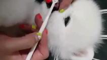 主人给小博美刷牙,全程超乖的,小舌头舔呀舔的实在太可爱了!