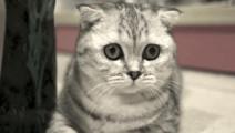 安静的折耳猫,看着好可爱!