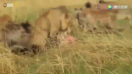最疯狂的动物大战! 20非洲凶猛鬣狗大战成年狮子, 谁更厉害?
