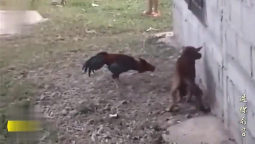 泰国一只斗鸡,见狗打狗、见人打人,把狗打到跪地求饶!