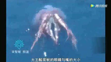 世界上最大的鱿鱼 体长20米 连鲸鱼都可以吃