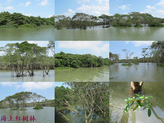 红树林就分布在海岸浅滩上.年均温为23.8℃.