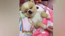 狗狗睡相太丑,被主人一巴掌打清醒了,好心疼但是好想笑