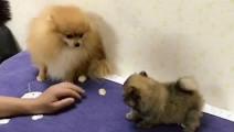 主人刚刚买回一只小狗,博美醋意大发,故意在旁边使坏