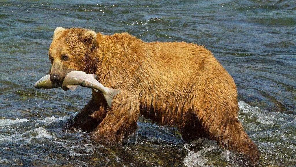 三文鱼逃过了鲨鱼的掠食,老鹰的利爪,最后一跃跳进了灰熊的口中