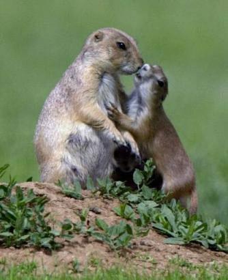 动物世界: 土拨鼠就是天生的演员