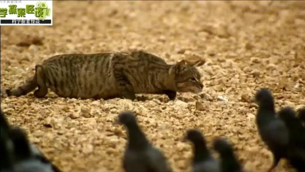 喵星人在这里不是猫的代称,而是一个可怕的掠食者,扑杀鸟类