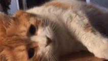网红橘猫躺着翻滚不小心掉下去,摔倒瞬间笑翻了
