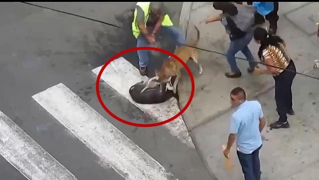 比特犬攻击哈士奇,警察使用警棍电击枪攻击,比特不松口
