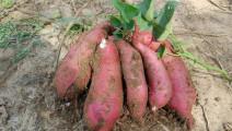 红薯是抗病之王,但不能和它一起食用,后悔现在才知道!