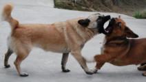 为啥农村土狗喜欢拉帮结派?谁说土狗干不过比特犬?看完就明白了