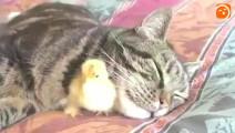 家中喵星人养了只小鸡,后来小鸡长大了,结果出现了这一幕