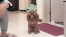 泰迪崽崽用实际行动证明,它不是狗,它只是投错了胎,看完我信了