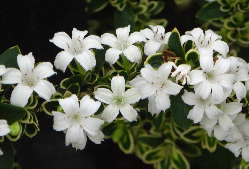 六月雪白花盛开, 如雪花满树, 雅洁可爱, 根茎叶均可入药消肿拔毒