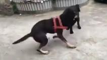 农村斗狗 土狗对战杂种比特 还是比特的基因强悍犀利