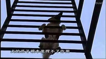 训野狗方法泰迪训犬师学校-教宠物狗飞盘