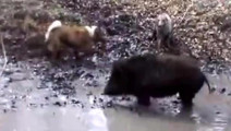 野猪十分凶猛,一群猎狗都拿它没办法,藏獒能独自轻松拿下