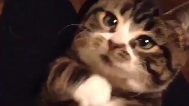 贪吃小猫咪放下高冷架子向猫奴要小零食