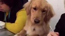 主人怕狗狗自己在家无聊,把它带到公司里,同事们吃午饭时场面笑翻了!