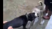 家狗和比特犬死死咬住,不一会狗兄狗弟来相助