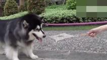 主人养了一只不爱出门遛弯的短腿阿拉斯加,每天求着狗出去散步