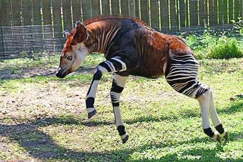 它们是在非洲刚果发现的大型哺乳动物,虽然有斑马的花纹,但却是跟