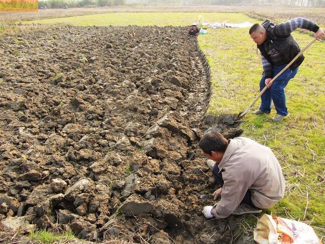 农村人在地下挖的水果, 你见过吗? 生吃前要洗干净