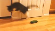 国外一位猫奴意外发现猫的天敌竟是黄瓜,引发网友疯狂虐猫