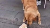 家里来了只小狗狗,金毛: 我擦玩具,铲屎的大方啦、给买个会动的玩具