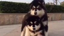 小熊般的小阿拉斯加犬,今天也是双胞胎一起打闹