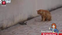 眼镜蛇遇上了传说中的大黄猫,简直是鸡入狼口,直接被大黄给秒杀
