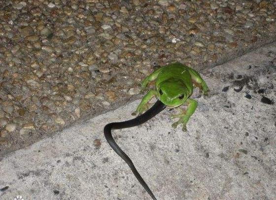 """烟蛙吃蛇_你见过""""烟蛙吃蛇""""吗?_探秘志"""