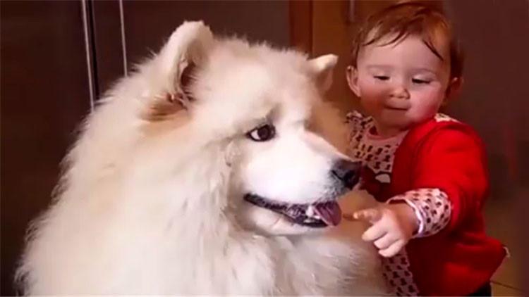 可爱的小宝宝去摸萨摩耶的舌头,狗狗的举动让人吃惊!