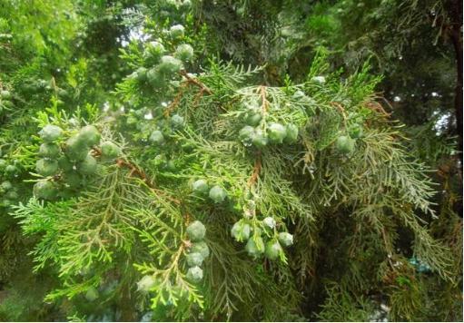 失眠和便秘?不妨试试这棵树的种子。