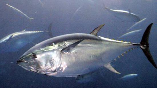 """——细数10种日本""""黑暗食物&rdquo 生马肉 鱼精巢也能吃"""