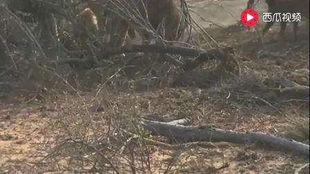 一群饥饿的鬣狗围殴狮子, 雄狮赶到展开激烈大战!