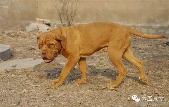 世界上最凶残的犬科动物 藏獒能排第几