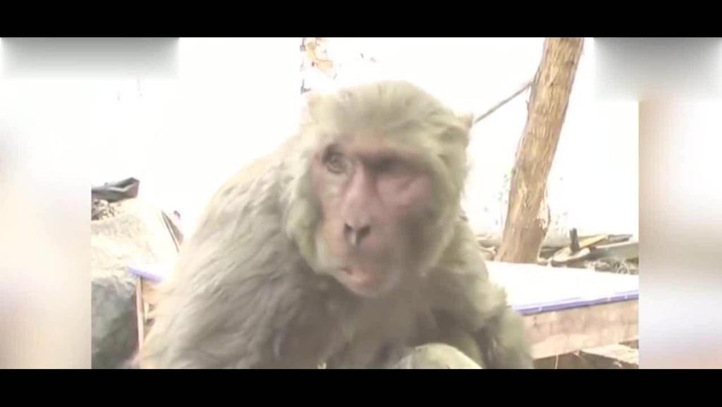 印度一只猴子把流浪狗当成自己的孩子,引来众人围观
