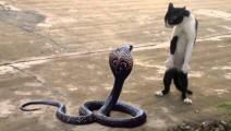 猫与蛇谁才是王者?猫蛇大战一触即发!
